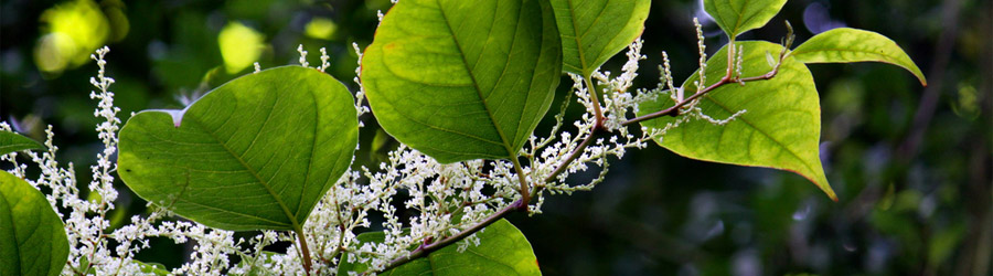 Flowering Japanese Knotweed